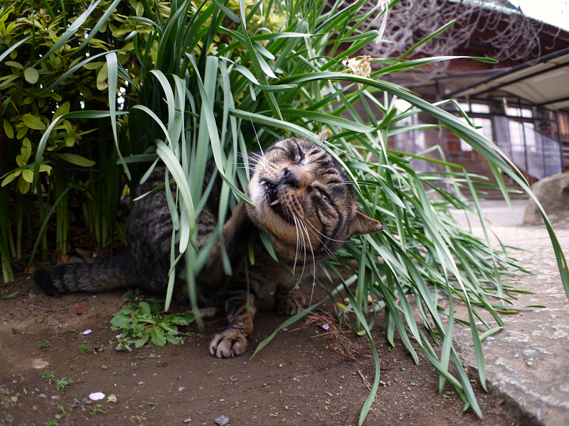 茂みでカキカキしてるキジトラ猫