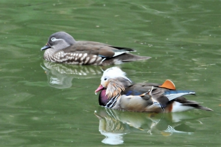 mandarin-ducks2