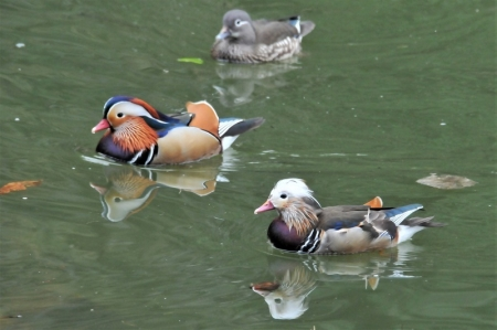 mandarin-ducks3