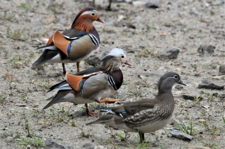 mandarin-ducks4