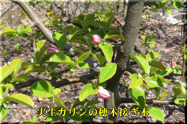 1misyoukarin190405_005.jpg