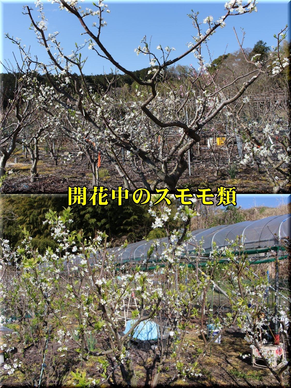 1sumomo190324_006.jpg