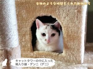 キャットタワーの中に入った箱入り娘・デンニ(デニ)