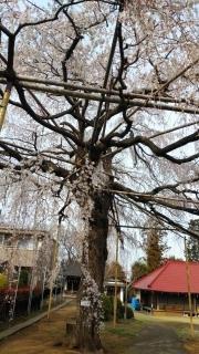 生田周辺の桜_002