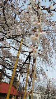 生田周辺の桜_003
