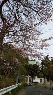 生田周辺の桜_004