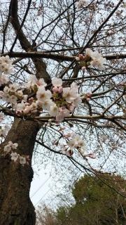 生田周辺の桜_005