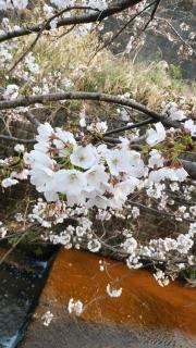 生田周辺の桜_008