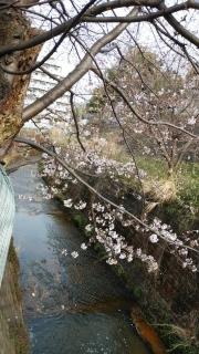 生田周辺の桜_009