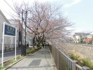 三沢川の桜_001