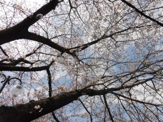 三沢川の桜_002
