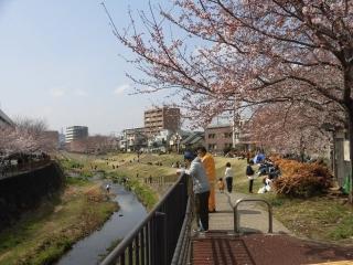 三沢川の桜_003