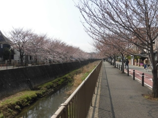 三沢川の桜_005