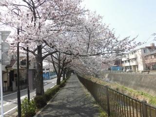 三沢川の桜_006