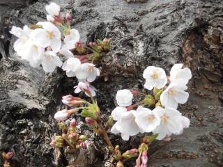 三沢川の桜_007