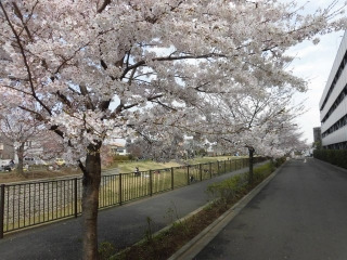三沢川の桜_010
