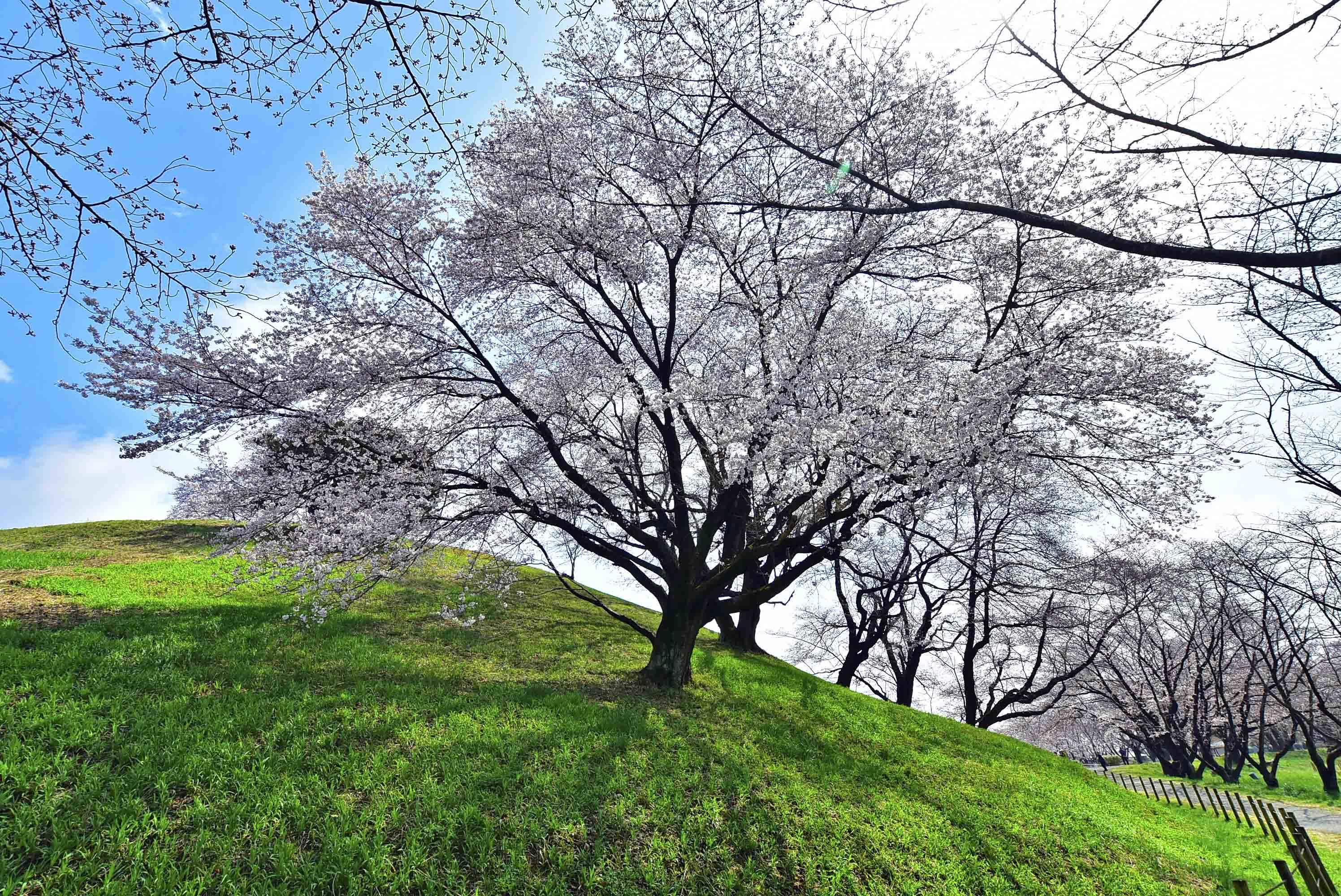 丸墓山古墳の西側の桜