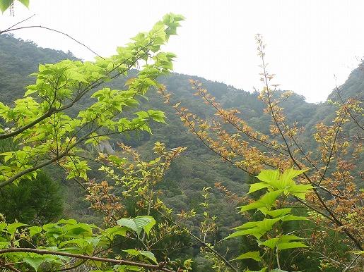 ヤクシマオナガカエデの芽吹きと新緑