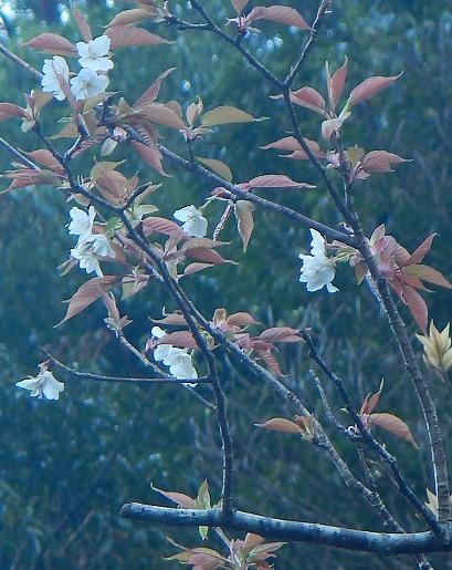 3月11日 トロッコ道沿いの山桜