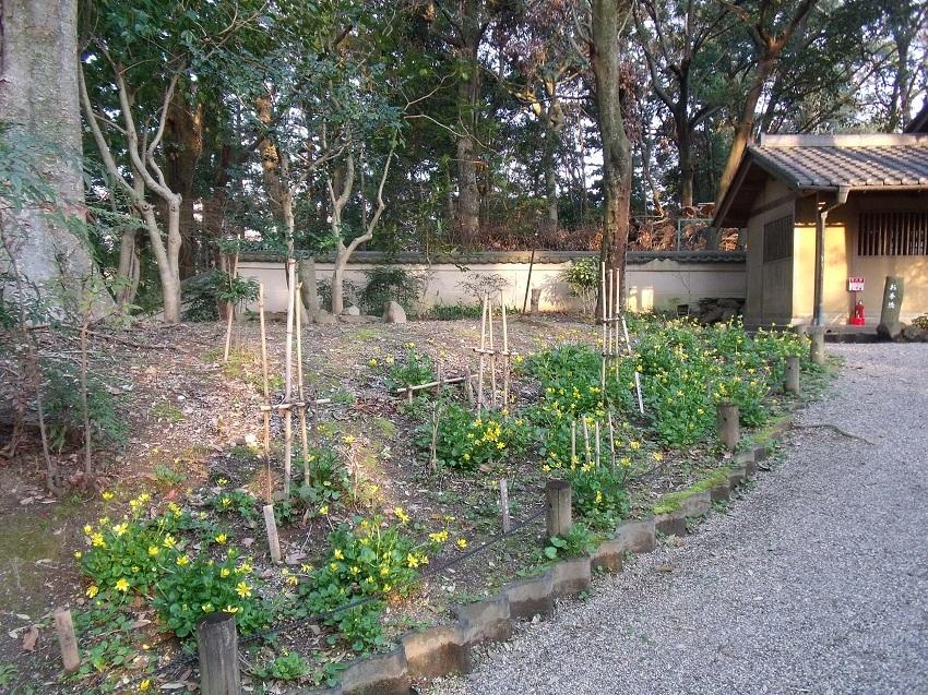 立金花(リュウキンカ)