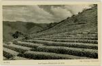 ボリビア・コカ畑