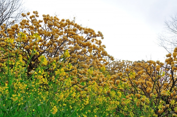 5黄色い丘190304