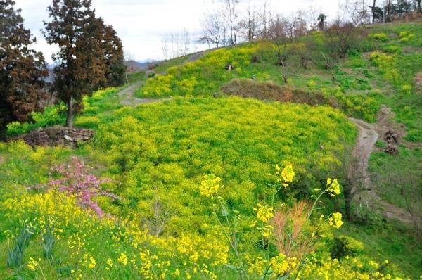 4黄色い丘190304