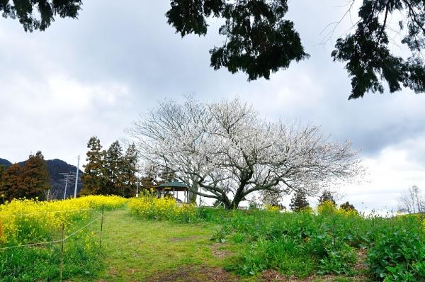 1黄色い丘190304