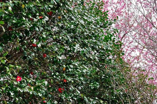 5陽光桜190318