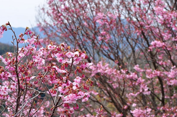 4陽光桜190318