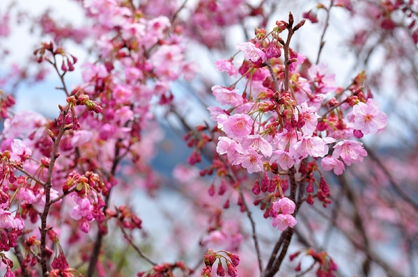 3陽光桜190318