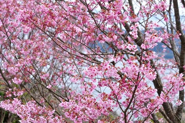 2陽光桜190318