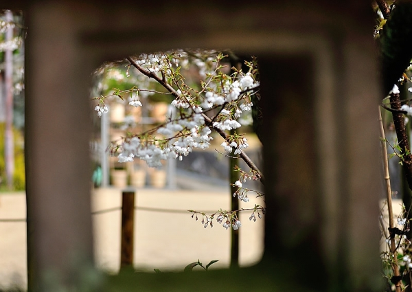 6うば桜190319