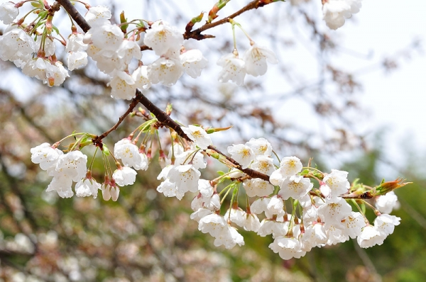 4うば桜190319