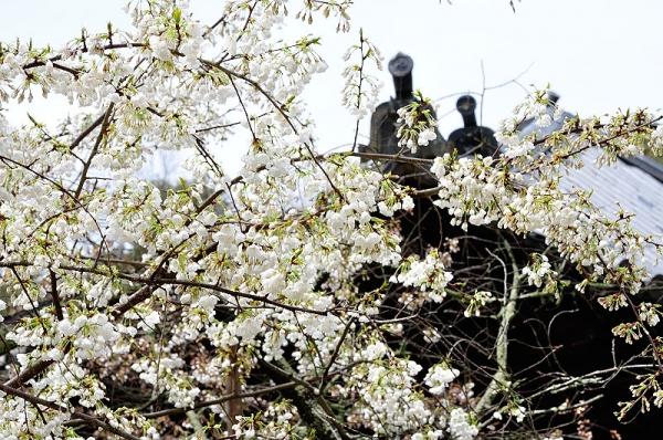 3うば桜190319