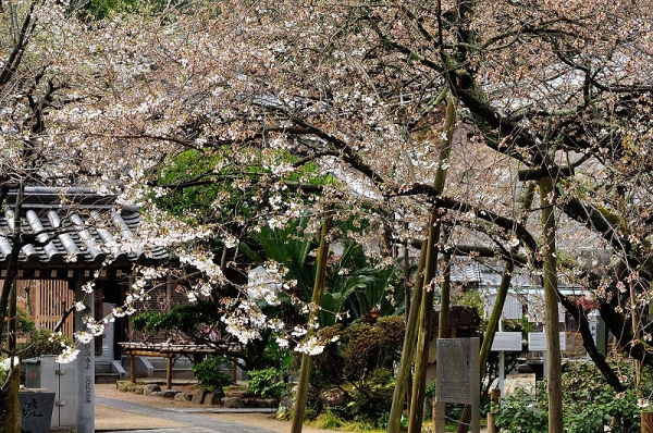 2うば桜190319