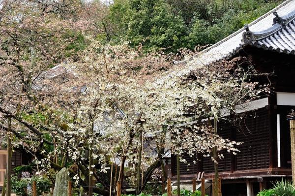 1うば桜190319