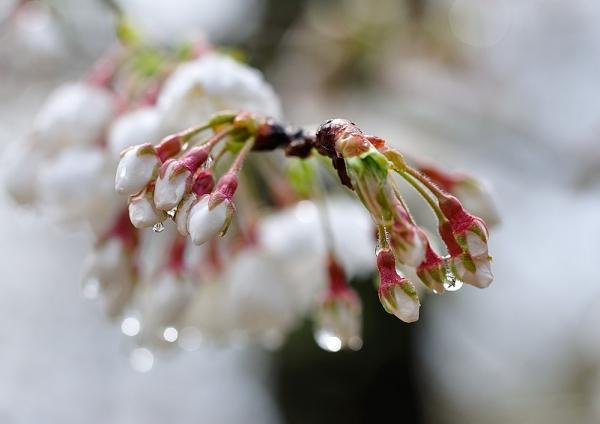 8うば桜190319