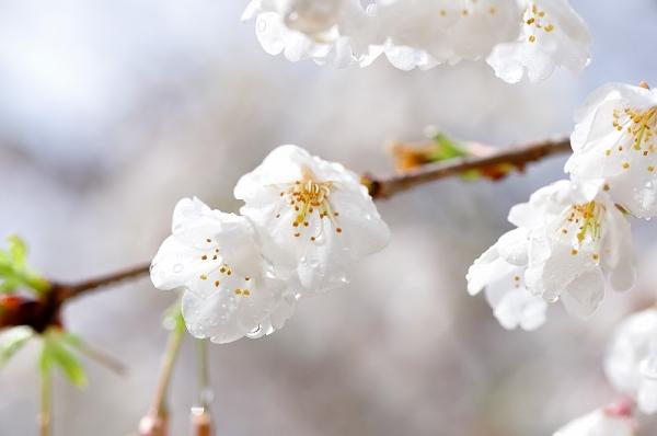 7うば桜190319