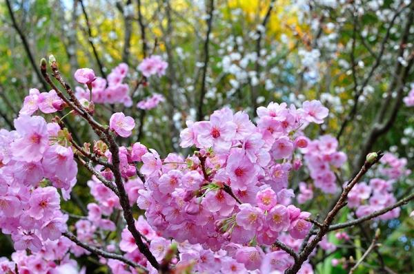 6うば桜190323