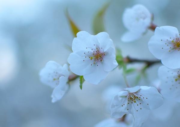 5うば桜190323