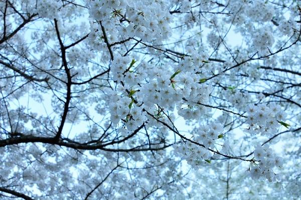 3うば桜190323