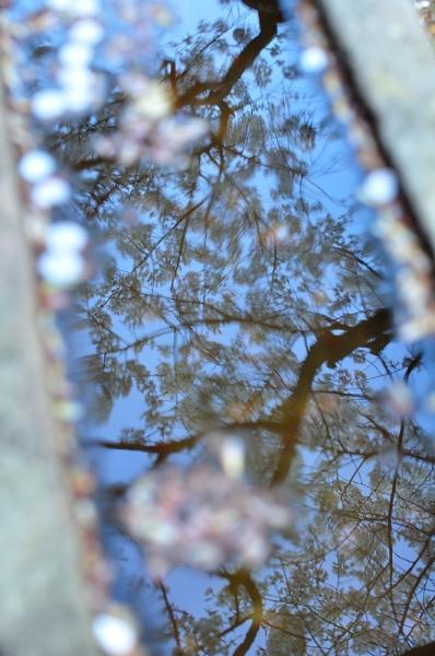 4うば桜190323