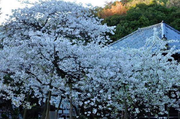 2うば桜190323