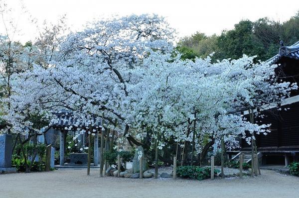 1うば桜190323