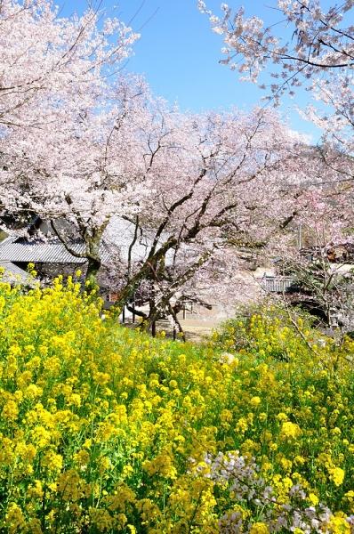 6金龍桜190324