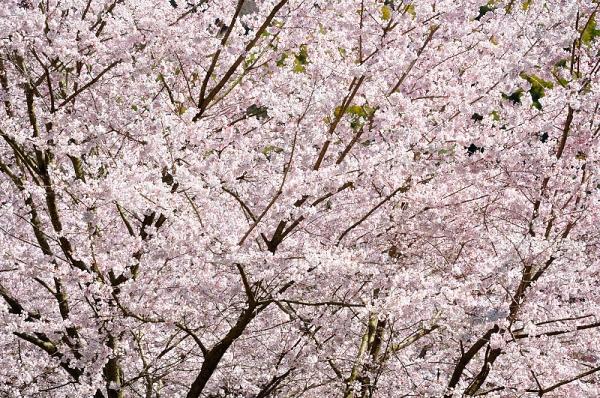 5金龍桜190324