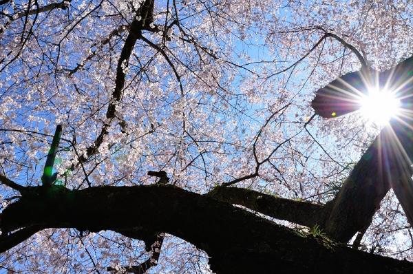 4金龍桜190324