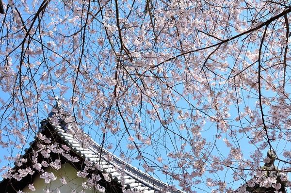 2金龍桜190324