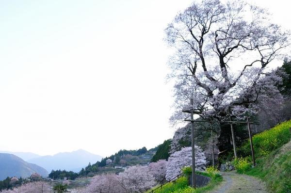 3ひょうたん桜190327